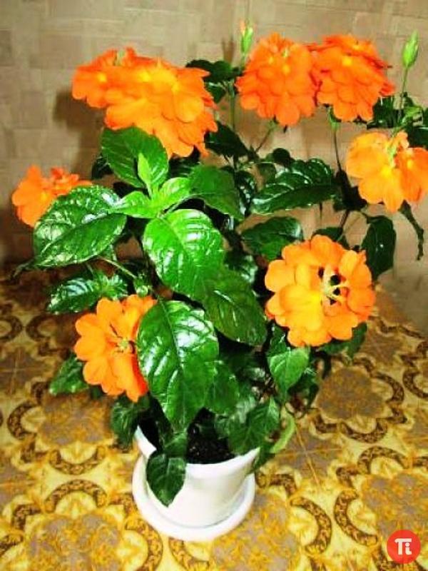 Каталог редких комнатных цветов