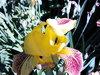 продам корневища желтых ирисов